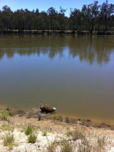 Buster taking a dip in the Murray River