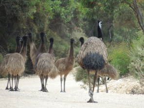 Emus in Lincoln NP