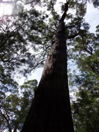 The Gloucester Tree near Pemberton