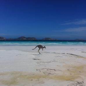 Kangaroo on the beach, Lucky Bay, Cape Le Grande NP, WA