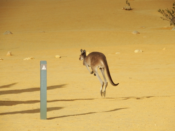 Kangaroo on the walking trail at the pinnacles