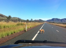 Dingo on the road to Tom Price