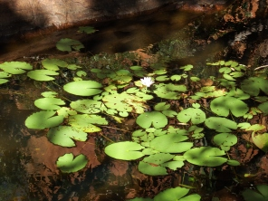 lily's on the pond at Galvan Gorge