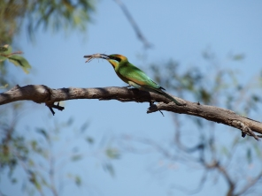 Rainbow bee-eater with a meal