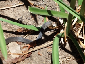 Spotted this black whip snake in the garden by the pool - maintenance came and moved him on