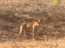 Dingo we spotted on the Mitchell Road