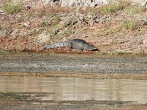 Freshwater Croc at Lake Argyle