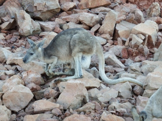 Kangaroo with joey in pouch on one of the islands in Lake Argyle