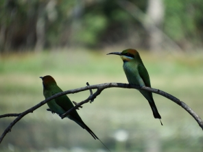 Rainbow Bee-eaters at Anbangbang billabong