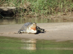 Saltwater Crocodile on East Alligator River, Kakadu NP