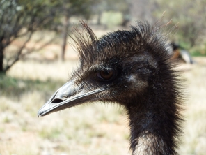 Up close with an Emu