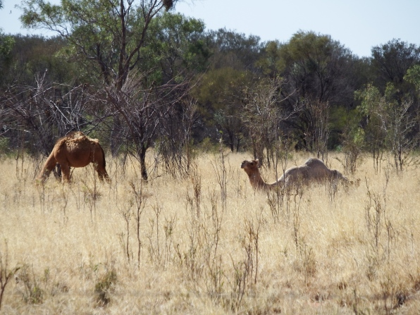 Our first wild camel sighting