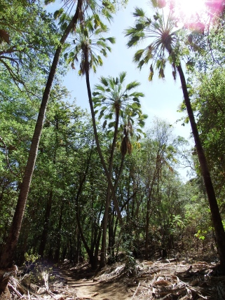 Walking trail under the palms at Boodjamulla NP