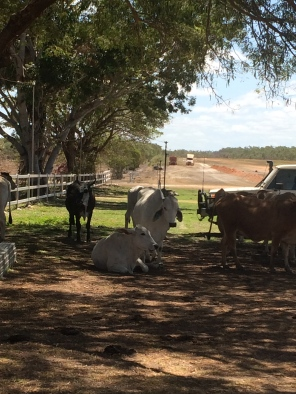 Cows at Musgrave Station