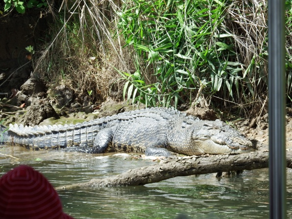 Big Crocodile on the Daintree River