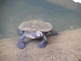 Turtle, Eungella NP