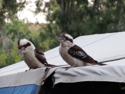Kookaburras sitting on our roof, Canarvon Gorge NP, QLD