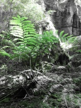The rare and ancient king fern