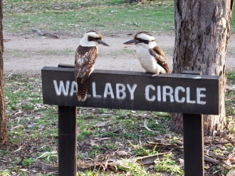 Kookaburras at Takaraka campground