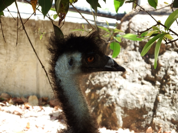 Emu at Rocky Zoo