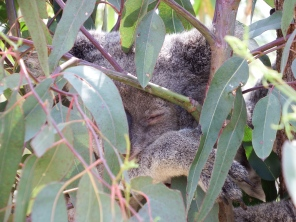 Sleeping Koala at Rocky Zoo