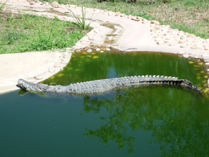 Saltwater Crocodile at Rocky Zoo
