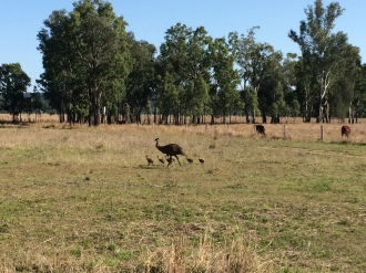 Emu and his chicks spotted as we drove out towards the nearby town of Rolleston
