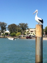 Watching the wildlife from the Boathouse floating restaurant, Noosa QLD