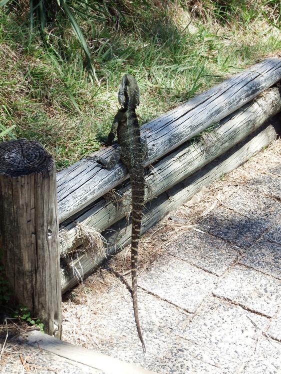 Lizard on coastal walking trail, Byron Bay